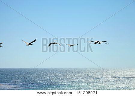 Brown pelican flying over the ocean, Malibu, California