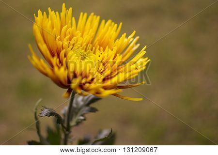 Single Isolated Yellow Chrysanthemum Flower