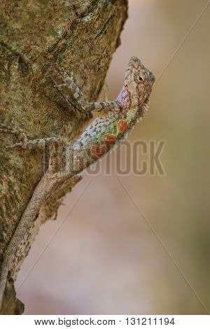 Masked spiny lizard on treeMasken-Nackenstachlerblack face lizard