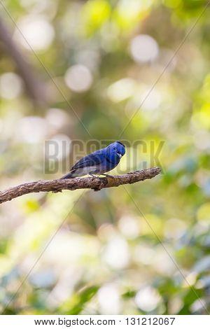 Black-naped Monarch In Nature