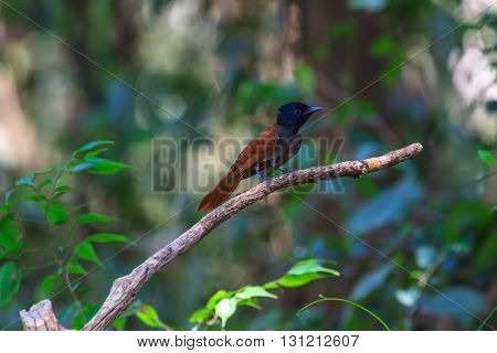 Bird in nature asian paradise flycatcher perching on a branch