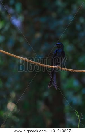 Black Drongo  Beautiful Bird In Forest