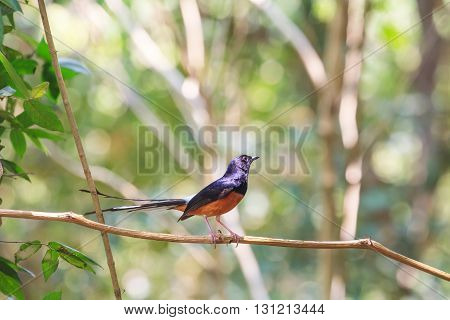 White-rumped Shama Standing On A Branch