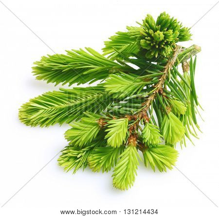 Pine tree branch isolated