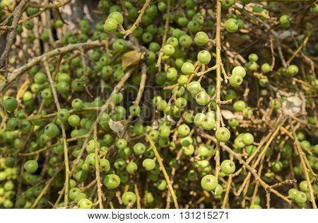 Wild Figs On Fig Tree