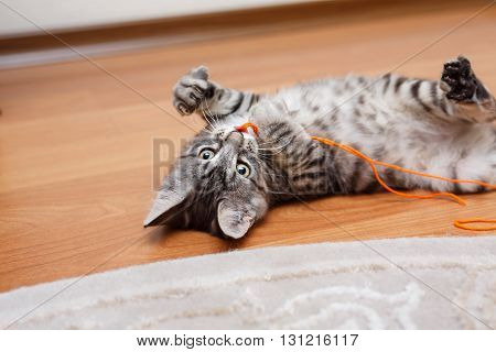 Kuril Bobtail cat Grey plays. Thoroughbred cat. Cute and funny kitten. Pet.