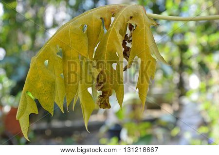 dry papaya leaf on branch in backyard garden