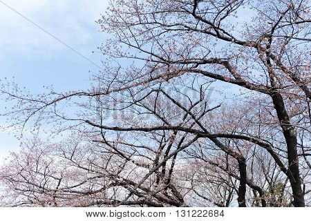 close up image of cherry blossom season in tokyo,Japan