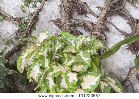 background nature leaves creeping plant wall roots