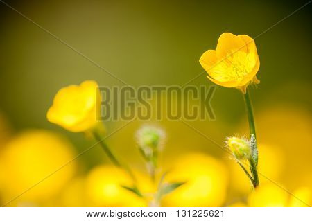 Ranunculus acris is a species of flowering plant in the family Ranunculaceae across Europe and temperate Eurasia meadow buttercup.