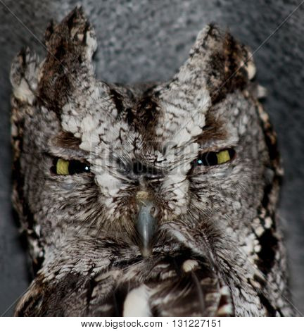 Screech owl with narrow yellow eyes and horned feather tufts.