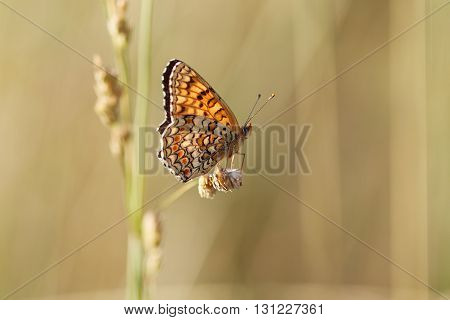 Boloria selene sit on yellow dry grass.