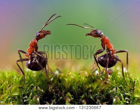Two ants. Conflict, ants fight. Conceptually - dialogue, conversation, meeting, showdown, difficult negotiations. Beautiful rainbow background. Ants large, raised abdomens