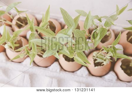 young plants in eggshellssoft selective focus eco concept