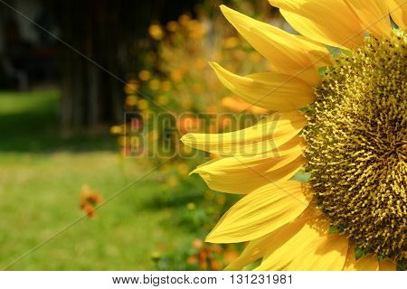 The image of Sunflowers blooming yellow flowers sunflower field
