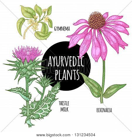 Illustration set of vector Ayurvedic herbs and plants. Gymnema Echinacea flower thistle milk isolated on white background. Natural supplements concept beauty health and nature.