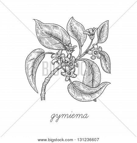 Gymiema. Vector plant isolated on white background. The concept of graphic image of medical plants herbs flowers fruits roots. Designed to create package of health and beauty natural products.