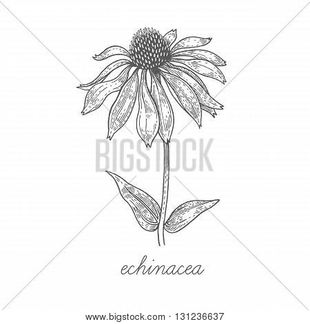 Echinacea. Vector plant isolated on white background. The concept of graphic image of medical plants/herbs/flowers/fruits/roots. Designed to create package of health and beauty natural products.
