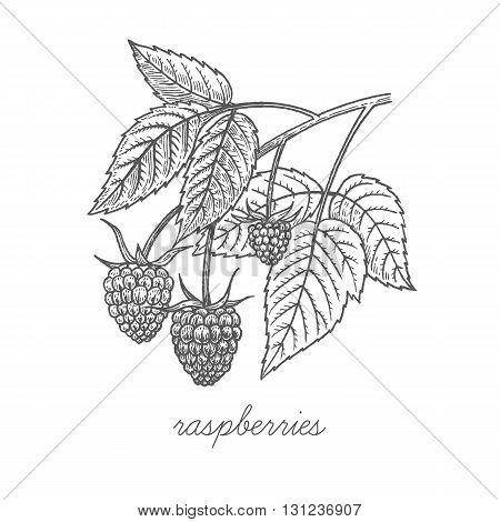Raspberries. Vector plant isolated on white background. The concept of graphic image of medical plants herbs flowers fruits roots. Designed to create package of health and beauty natural products.