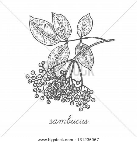 Sambucus nigra. Vector plant isolated on white background. The concept of graphic image of medical plants/herbs/flowers/fruits/roots. Designed to create package of health and beauty natural products.
