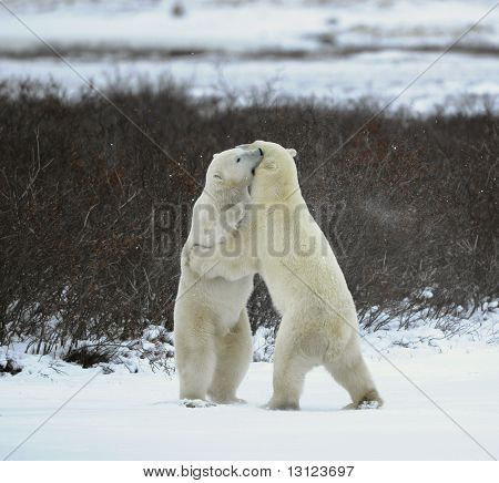 The polar bears fighting