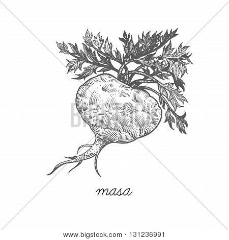 Maca. Vector plant isolated on white background. The concept of graphic image of medical plants herbs flowers fruits roots. Designed to create package of health and beauty natural products.