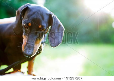 Portrait Of Black Dachshund In Bright Sunlight. Look Down