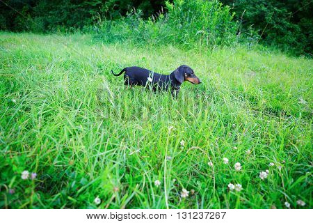 Black Smooth-haired Dachshund Hunting Among The Grass