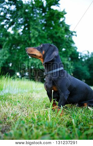 Black Smooth-haired Dachshund Sitting In The Green Grass