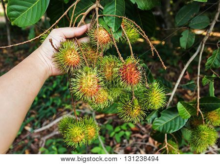Hand And Fruit Rambutan Bunch From Tree With Copy Space