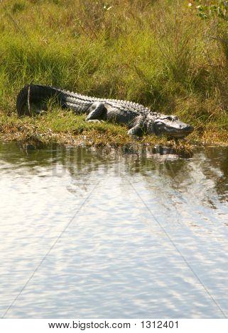 Gator 7