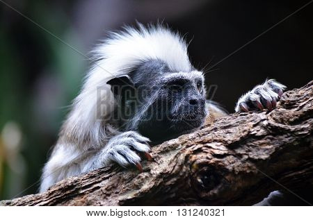 White Mohawk mane of a Cotton Top Tamarin Monkey
