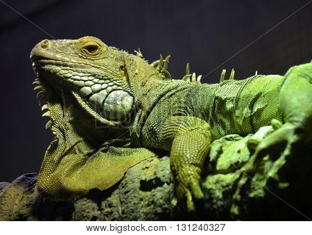 Green Iguana basking on a tree branch