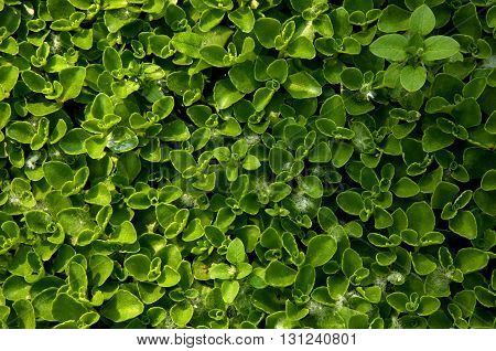 Photo small green leaves densely growing on the ground. Interestingly the natural background and texture. View from above