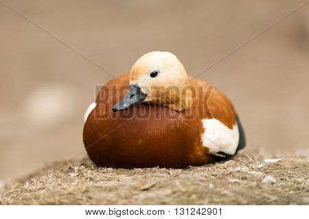 duck with white head sitting on the ground