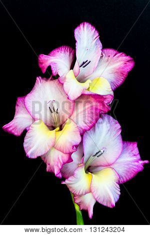pink and yellow gladiolus with black background