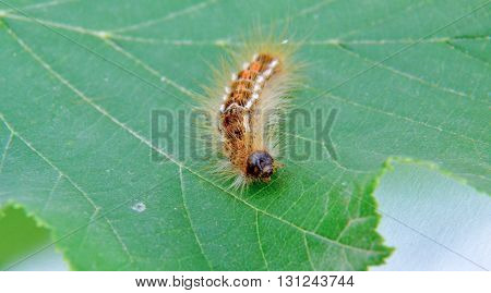 picture of a caterpillar macro closeup on green hazelnut leaf