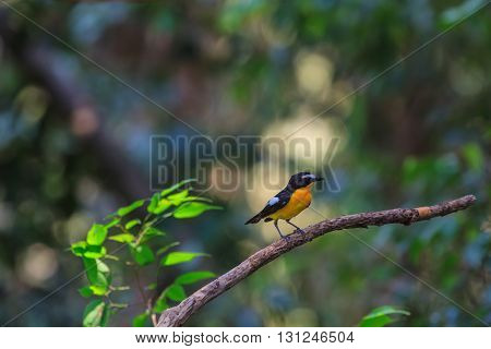 Male Yellow-rumped flycatcher (Ficedula zanthopygia) in nature of Thailand