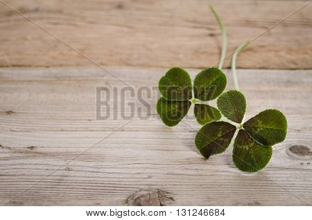 two four-leaves clovers for good luck isolated on wooden background