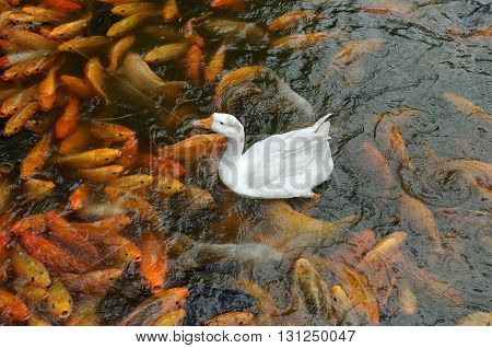 a swan and common carps in pond
