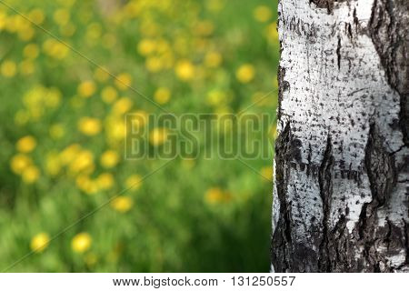 White birch tree trunk and greens in the May grove close-up