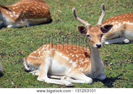 Young male Fallow Deer resting on grass