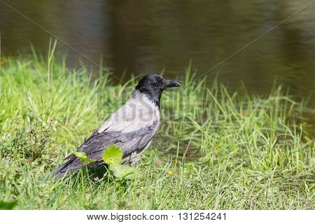 Portrait of a crow in the grass