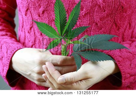 Female Hands Are Holding Marijuana Green Fresh Leaf ( Cannabis), Hemp Plant.
