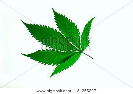 Hand Is Holding Macro Of Marijuana Green Fresh Large Leafs ( Cannabis), Hemp Plant.