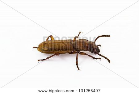 Brown little bug isolated on white background and clipping path