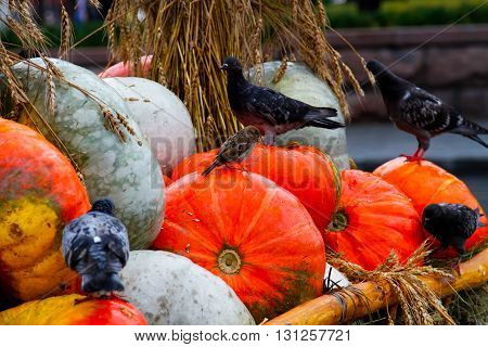 Pigeons and a sparrow sit in the cart with pumpkins and straw