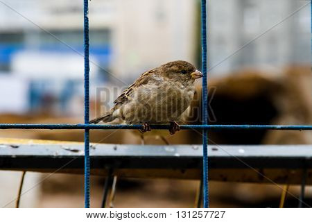 Sparrow on the net fence in the city