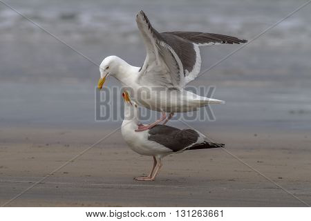 A pair of western gulls courting. Taken in California.