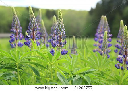 Wildflower meadow. Blooming purple Lupines in May.